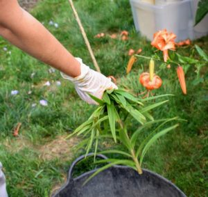 The leaves are easy to remove - just carefully pull them down the stem and into a bucket.