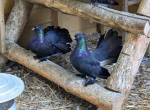 These are dark Egyptian Swifts known for the long tails, long wings and short beaks.