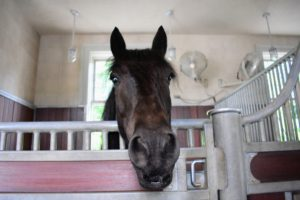 Here is Banchunch, my Fell pony - so full of character. He loves any attention visitors give him.
