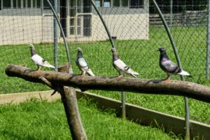 On the back side of the enclosure is a long natural perch, where many of the birds love to spend time. Here are four pigeons facing the allee of lindens - I wonder what they are watching.