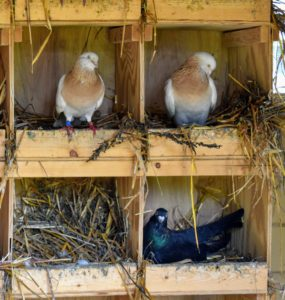 Pigeons also breed all year round with peak breeding periods in spring and summer.