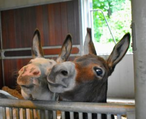 Afterwards, two of the three amigos walked over hoping for a treat. My donkeys, Billie, Rufus and Clive, play in a large paddock most of the day except for feeding times and when they are put back into their shared stall before nightfall.