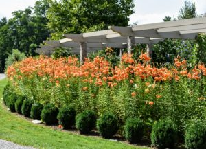 Most of the lilies were cut from the inside of the pergola - our border is still quite eye-catching.