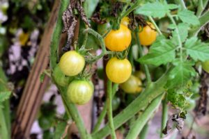 It's a good idea to grow a range of varieties, including at least one or two disease-resistant types, since, of all veggies, tomatoes tend to be the most susceptible to disease. And be sure to grow the right types for your area.