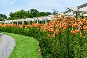 And here is the pergola earlier this week – look at all the gorgeous tiger lilies.