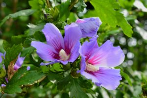 Rose of Sharon prefers full sun and well-drained soil.