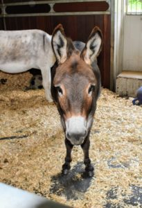 Rufus and his friends, Clive and Billie, are in their nearby stall listening to all the activity. Usually, during the day, the donkeys are out in their paddock, but on this day, there were occasional rain showers, thunder and lightening, so all the equids were inside.