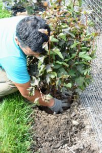 Always position the plant, so its best side faces front. Phurba turns it slightly in the hole before backfilling.