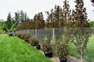 All the plants are lined up along the entire perimeter of the fence before any planting is started. Doing this ensures there are enough plant to go around.