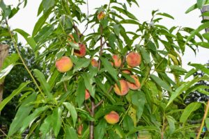 These trees are filled with peaches. Growing peach trees are self-fruitful, which means that pollen from the same flower or variety can pollinate the tree and produce fruit, so you only have to plant one. I have about 15-peach trees in this orchard.