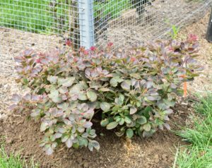 I have many smoke bushes around the farm - it is among my favorite small trees. These can grow to a moderate size - up to 15-feet tall and 10-feet wide.