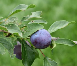 These are plums - it was so exciting to see the first plums growing on the tree. My plum varieties include 'Green Gage', 'Mount Royal', 'NY9', and 'Stanley'.
