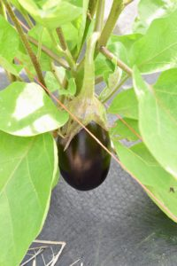 Here is one of the eggplants not quite ready to pick, but growing wonderfully. I like to pick them when they're smaller, when they are young and tender, so this one will be harvested in another few days.