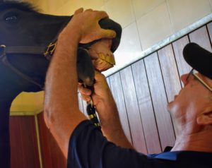 Much of Brian's work is done through feel. He feels for any abnormalities in the horse's mouth. Horses have 24-molars and premolars that are constantly growing and being worn away.