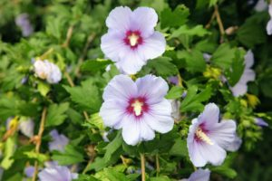 As a heat-lover, this shrub is also prized by growers in the Southeast. In fact, Rose of Sharon is reasonably drought-tolerant.