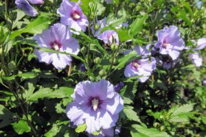 "Rose of Sharon, Hibiscus syriacus, is also known as althaea or althea. And contrary to its common name, the plant is not a rose at all, but a member of the Malvaceae or ""mallow"" family native to Asia and India."