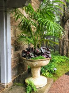 As you know, I come up every spring to plant the garden containers around Skylands. This year, in the vessels flanking my front door, we planted Kentia palm, Howea forsteriana, and begonias. Kentias have upright slender trunks and long arching, feathered, dark green fronds. They all grew so beautifully this summer.