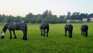 By late afternoon, my Friesians and pony are turned out into their paddocks. Here are four of the five Friesians - Rinze, Meindert, Ramon and Rutger. Sasa and Banchunch are turned out in another paddock. See you soon, my dear horses.