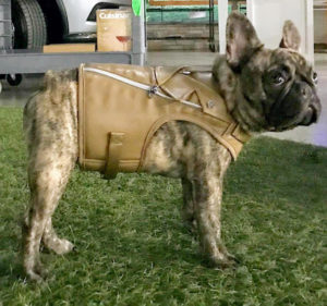 "Finally, the last product I showed was from my pets collection - this Faux Leather Dog Harness Vest. My dogs were not with me on this trip to QVC, so we modeled the harness on ""Tuggs"" - the adorable creme tiger brindle mini French bulldog of my producer, Judy Morris."