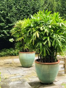 Every potted plant is green and lush - all the plants are doing so well in East Hampton this season. These are Lady's palms, Rhapis excelsa, which have broad, dark green, fan-shaped foliage on tall stalks. They need to get east-facing exposure, out of direct sunlight.