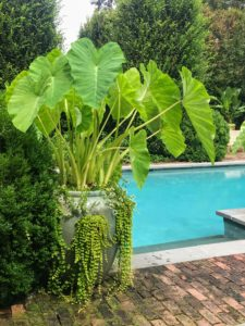 Colocasia, or elephant ear, looks great in this large aqua-colored planter. Colocasia, with its downward facing leaves, will switch energy resources in colder temperatures from producing leaves to flower and corm production.
