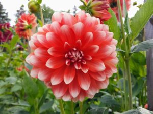 In the cold climates of North America, dahlias are known as tuberous-rooted tender perennials, grown from small, brown, biennial tubers planted in the spring.