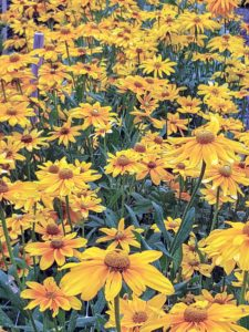 Rudbeckias are easy-to-grow perennials featuring golden, daisylike flowers with black or purple centers, and include the popular black-eyed Susan.