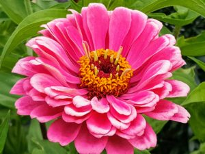 Zinnia plants range from six-inches tall to about four-feet tall. There are varieties with single or double petaled flowers in almost all the colors of the rainbow.