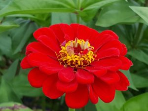 When cutting zinnias for flower arrangements, pick the flowers in the morning when they're fully open. Unlike other cut flowers, zinnias do not continue to open once cut and brought indoors.