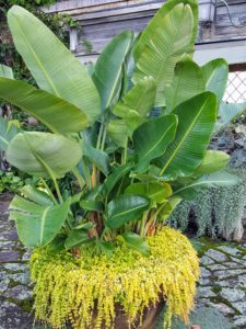 I planted this Soderholtz pot with Bird of Paradise. The Bird of Paradise is best known for its banana shaped leaves and bird shaped tropical flowers. It is underplanted with Lysimachia.