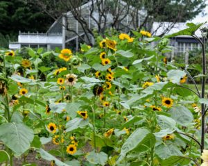 You can plant annual sunflowers in almost every plant hardiness zone, as long as your garden gets full sun. What sunflowers are growing in your area? Share your comments on these joyful flowers in the section below.