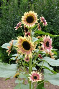 Sunflowers have long tap roots that need to stretch out, so the plants prefer well-dug, loose, well-draining soil.