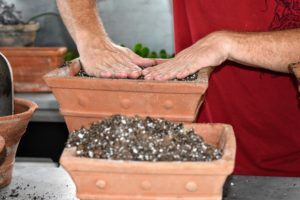 Regular potting mix is actually better for Aeoniums than a mix specifically for cacti and succulents, since Aeoniums need some moisture. The right soil mix will help to promote faster root growth, and gives quick anchorage to young roots.