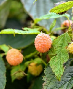 Golden raspberries are a good source of vitamins B and C, folic acid, copper, iron, antioxidants, and ellagic acid, a phenolic compound known to prevent cancer. They also have a high proportion of dietary fiber.