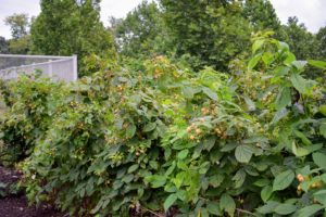 Although not as bright and easy to see as the red raspberries, these shrubs are filled with ripe, golden raspberries. Botanically, all raspberries grow on shrubs belonging to the Rosaceae family, in the genus Rubus.
