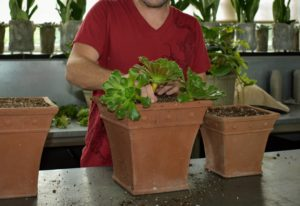 Next, Ryan carefully begins potting the aeoniums. With their sculptural shapes aeoniums are most attractive when planted in groups.