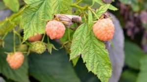 Golden raspberries are also sometimes referred to as yellow raspberries and have a yellow-pink color.