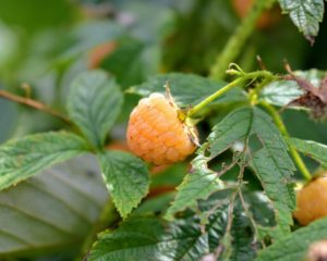 """The raspberry is made up of small """"drupe"""" fruits which are arranged in a circular fashion around a hollow central cavity. Each drupelet features a juicy pulp with a single seed."""