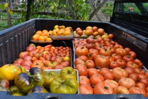 This is our first big bounty of tomatoes – look at all the different colors and sizes.