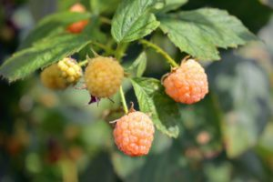 Most golden raspberry varieties are hardy to USDA zones 2 through 10, and are easy to maintain.