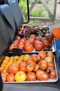 We filled our Polaris ATV with trays and trays of fresh tomatoes from my garden. This year, we had more than 130 tomato plants.