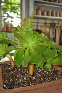 Unlike many other succulents, however, Aeoniums have shallow root systems and cannot be allowed to dry out completely. Container-grown Aeoniums need more frequent watering, so check the soil twice weekly during hot, dry weather and water whenever it feels dry one-inch below the surface.