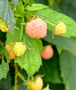 The taste of raspberries varies by cultivar, and ranges from sweet to acidic. They are great for use in pies and tarts, and other desserts. They can also be used in cereals, ice-creams, juices and herbal teas.