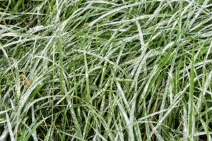 Here is a closeup of section of grass that has been coated with lime.