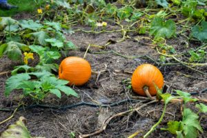 Here, it is easy to see that the foliage on the vines has begun to wither and turn brown - a sign the pumpkins are ready to harvest.