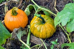 """The name pumpkin comes from the Greek word 'pepon' which means """"large melon""""."""