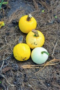 I love these brightly colored yellow and white pumpkins. I am always trying to grow different and unusual specimens along with the more traditional varieties.