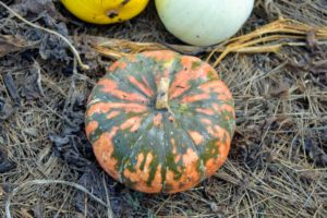 'Speckled Hound' is an eye-catching, orange pumpkin with green splotches and thick, dense flesh. After displaying the pumpkins in the fall, it's nice to scoop out the seeds – they're delicious roasted.