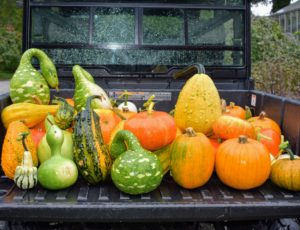 In just a short amount of time, the Polaris ATV was filled with a variety of pumpkins and ornamental gourds. The green gourd on the left is a bottle or birdhouse gourd. The green one in the center is called 'Speckled Swan'.