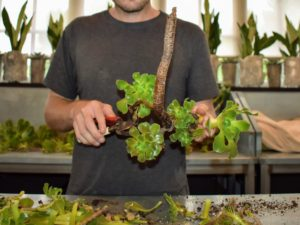 Using sharp shears, Ryan continues to snip off any dead leaves or spindly, malformed stems and puts the Aeoniums aside to dry - it is so easy.